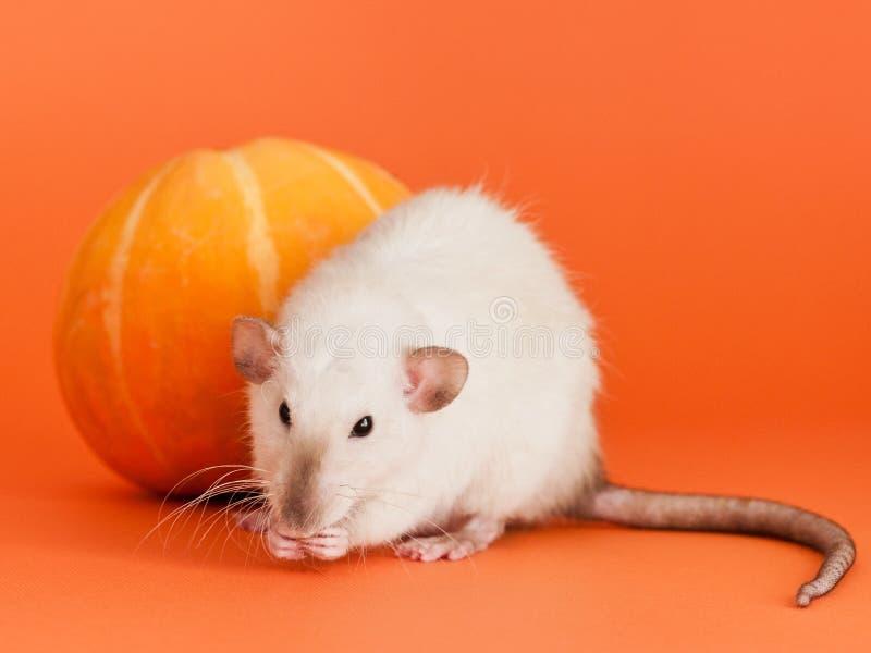花梢鼠用在橙色背景的黄色南瓜 库存照片