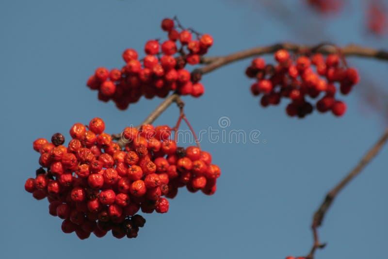 花楸浆果的分支在蓝天的 免版税图库摄影
