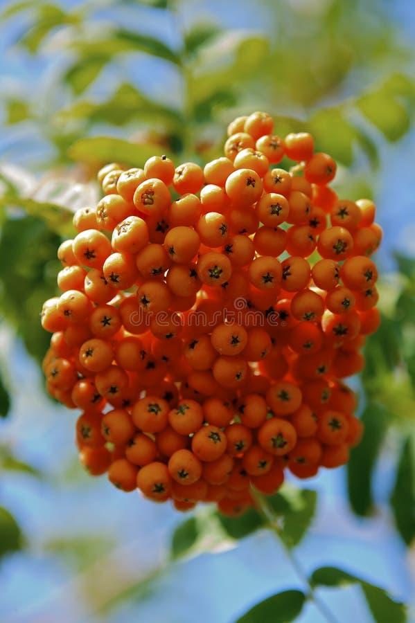 花楸浆果 图库摄影