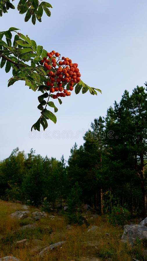 花楸浆果 库存照片