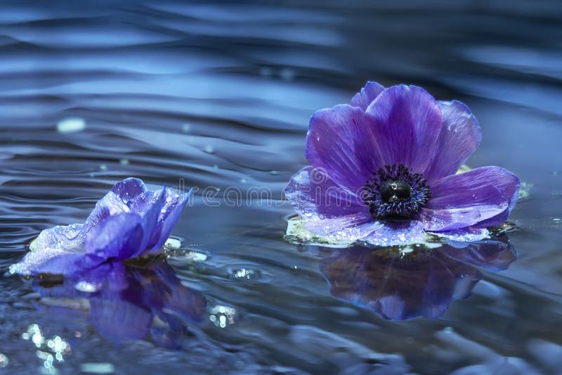 花水表面上的紫色银莲花属 免版税库存图片