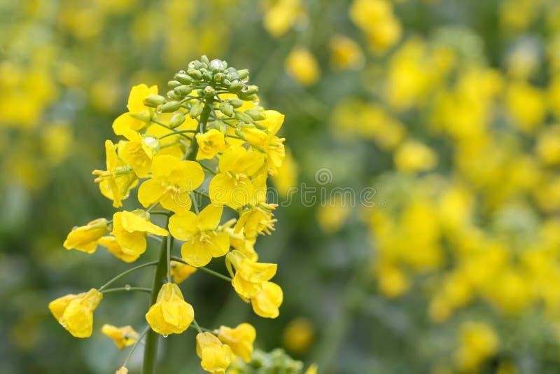 花油菜籽黄色 免版税图库摄影