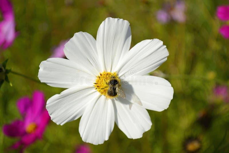 花波斯菊和蜂 免版税库存照片