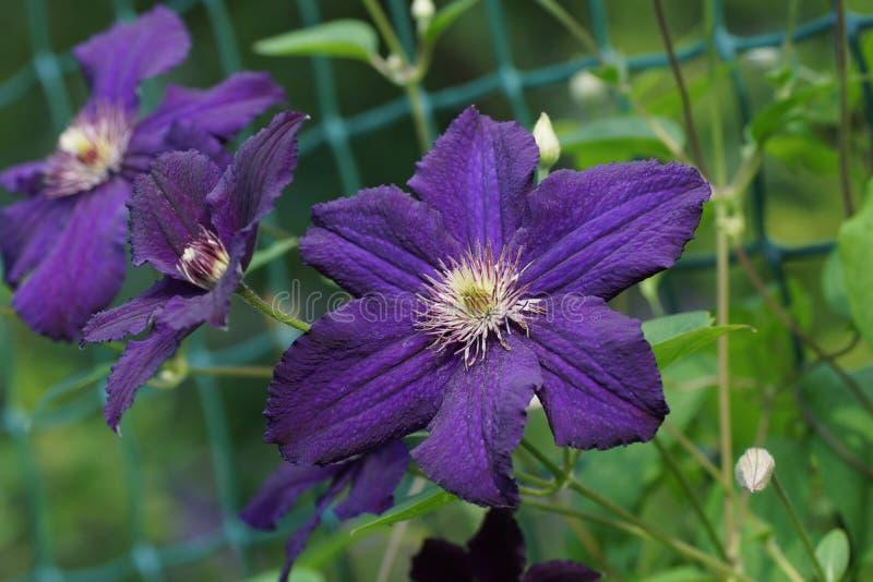 花淡紫色铁线莲属特写镜头 花铁线莲属品种拉斯普京 免版税图库摄影