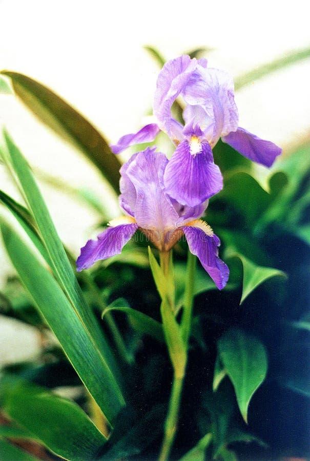 花淡紫色 免版税图库摄影