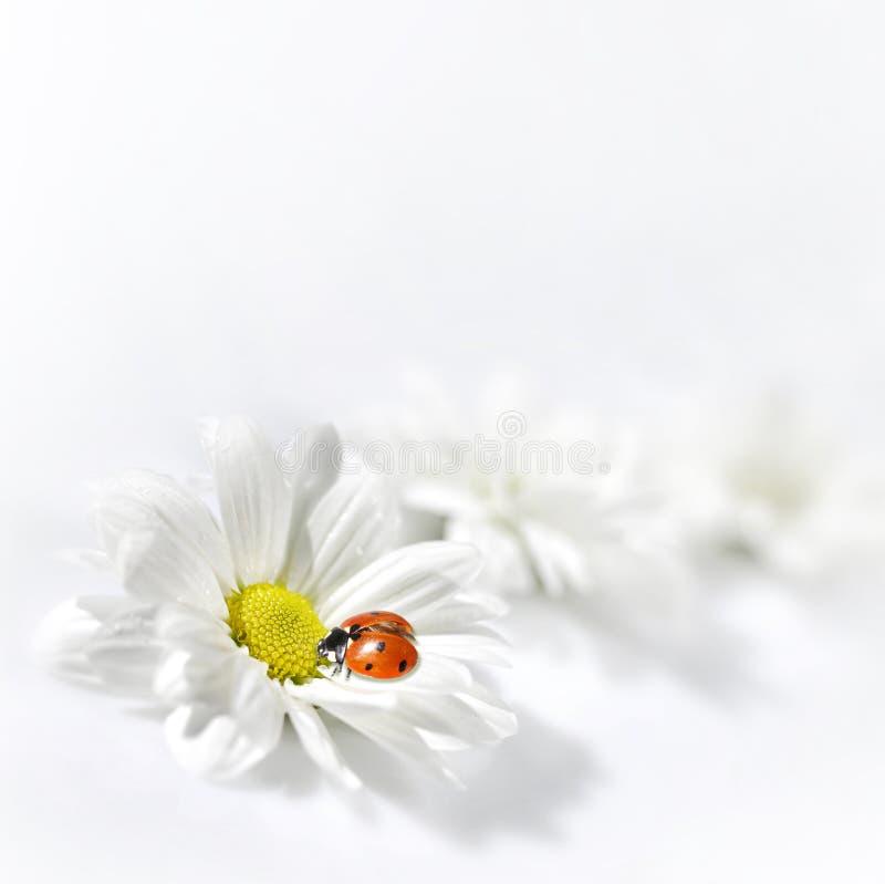 花瓢虫白色 库存照片