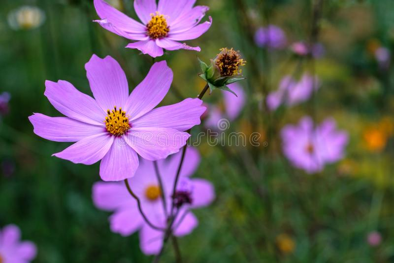 花生长在庭院里的kosmeya丁香 免版税库存照片
