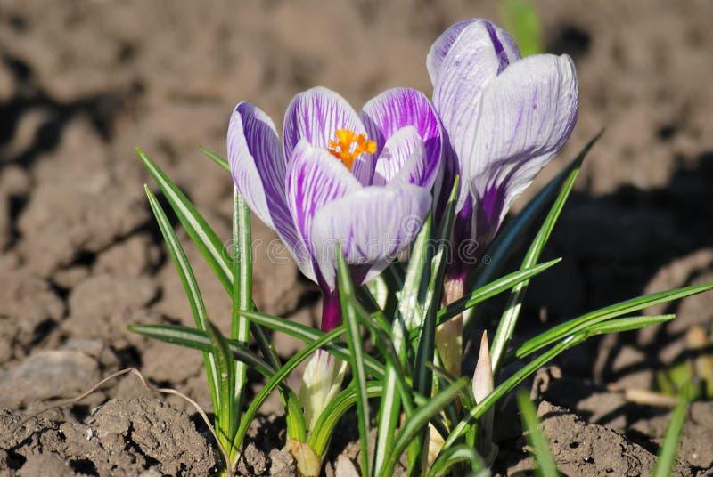 花番红花,温暖的太阳特写镜头花 免版税库存图片