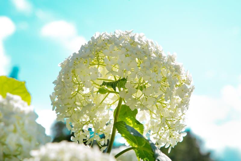 花白色植物八仙花属花圃在contral阳光下 免版税库存照片