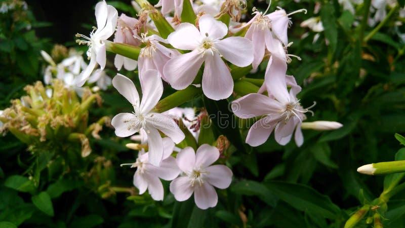 花白色植物群庭院花微型草绿色19 07 19 库存照片