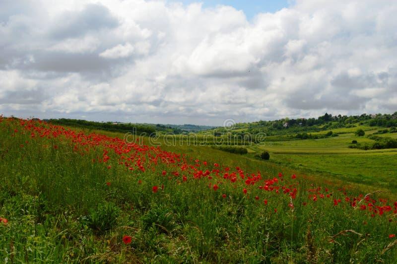 花的草甸与鸦片 免版税库存图片