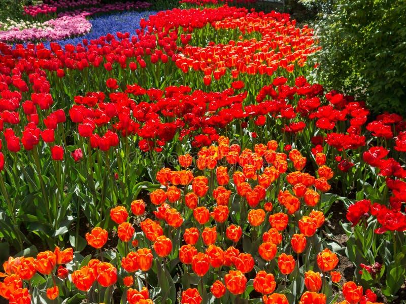 花的领域在Keukenhof庭院里,荷兰 库存照片