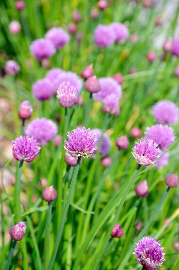 花的香葱植物 免版税库存照片