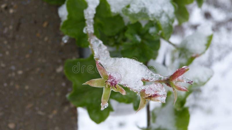 花的冻结的秀丽 免版税库存图片