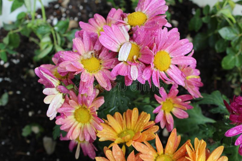 花盆桃红色,紫色和橙色花a 免版税库存图片