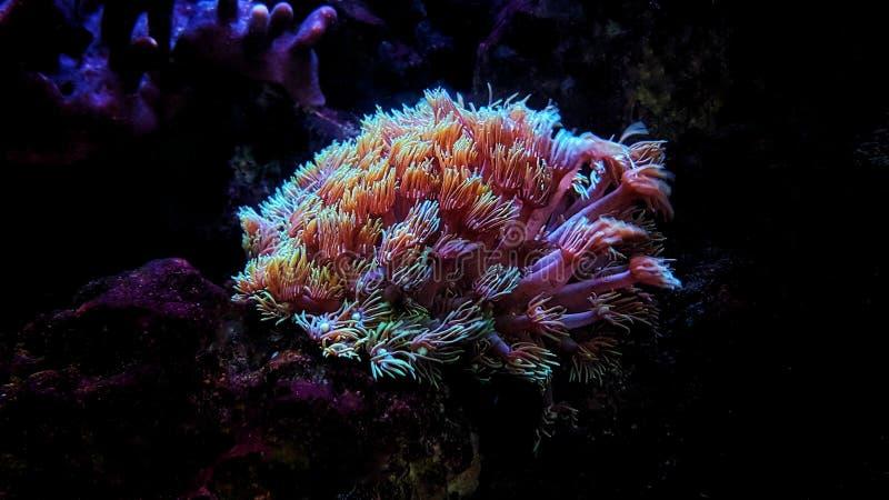 花盆珊瑚- Goniopora sp 库存图片