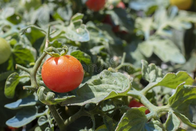 花盆番茄植株的特写 免版税库存照片