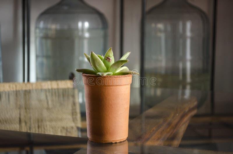 花盆的多汁植物 库存图片