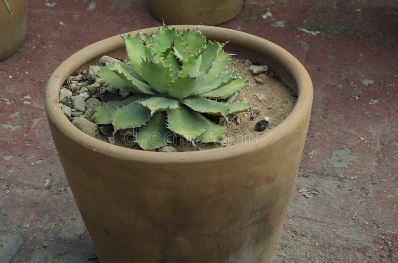 花盆的多汁植物 免版税库存图片