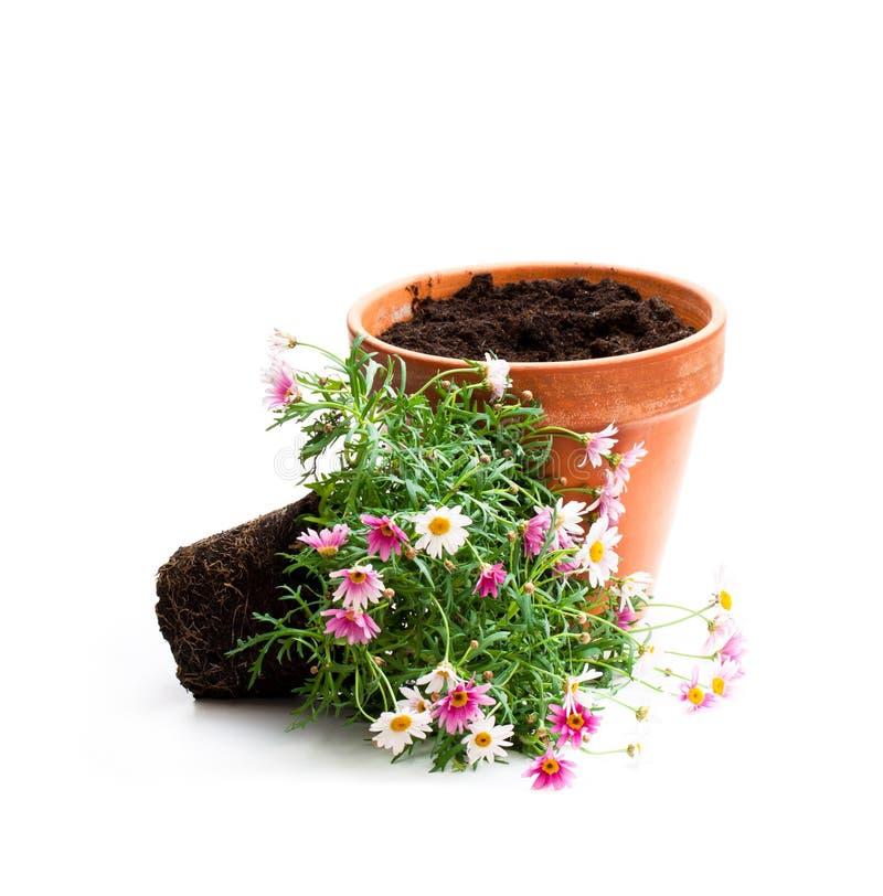 花盆的桃红色雏菊延命菊植物在白色b 图库摄影