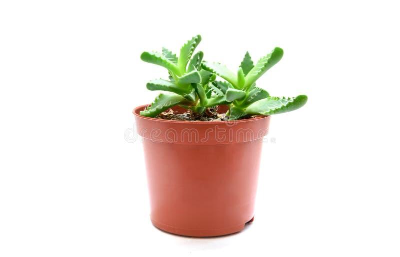 花盆的Faucaria多汁植物 免版税库存图片
