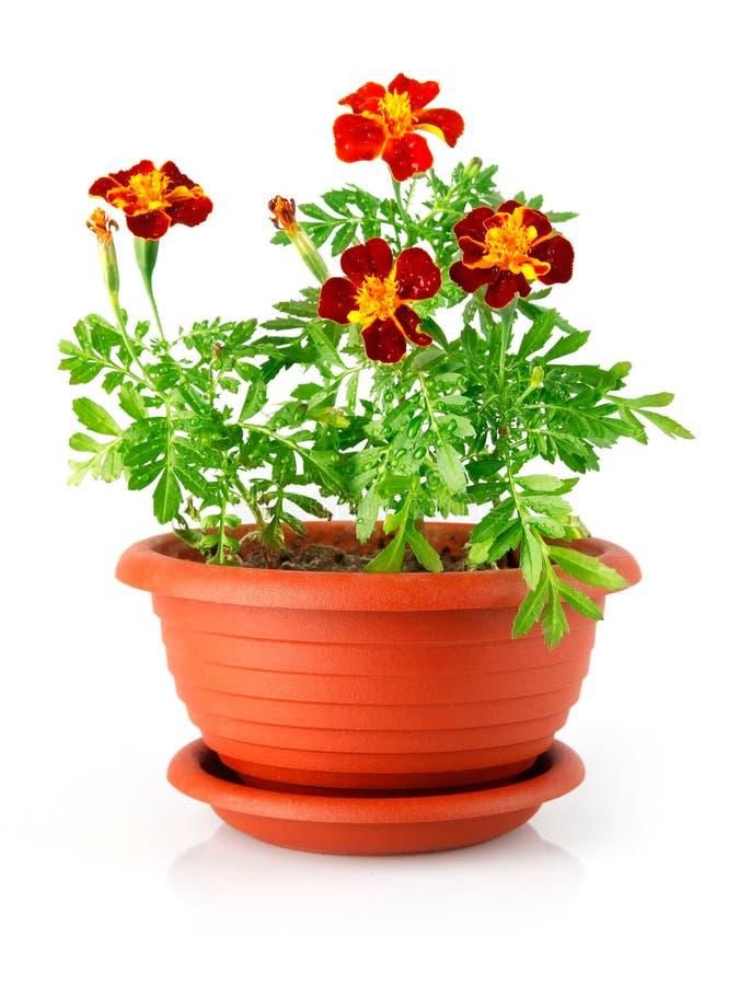 花盆花查出红色 库存照片