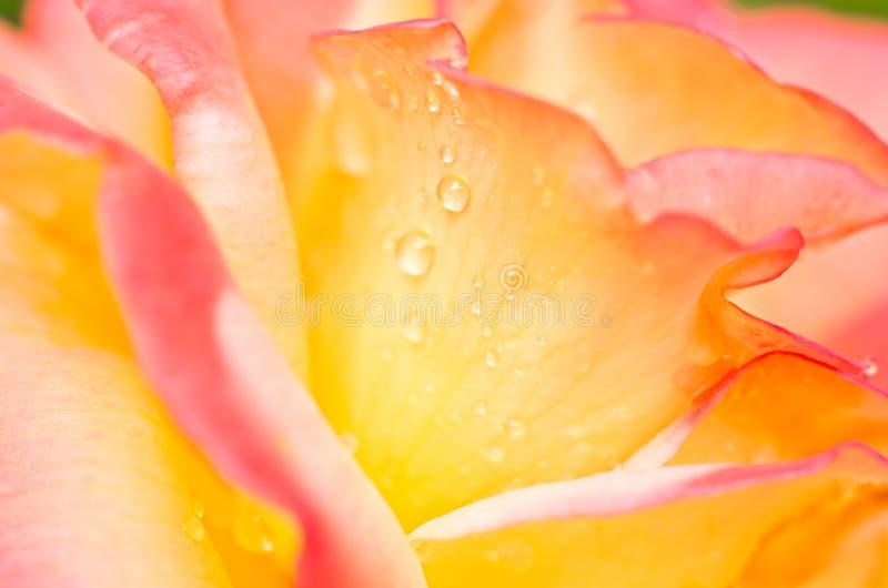 花粉红色玫瑰黄色 库存图片