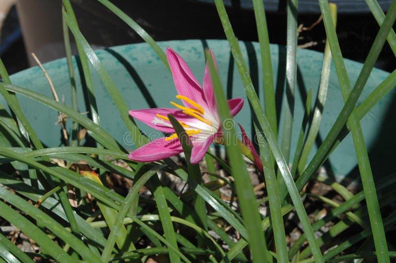 花粉装满的五颜六色的'墨西哥百合'在生动的洋红色,大开 库存图片