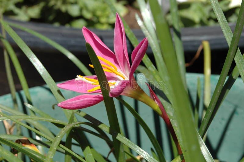 花粉装满的五颜六色的'墨西哥百合'特写镜头侧视图在与充分的早晨太阳的生动的洋红色 免版税库存照片