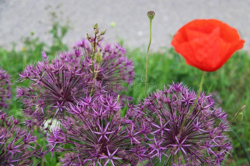 花紫色红色葱属 库存照片