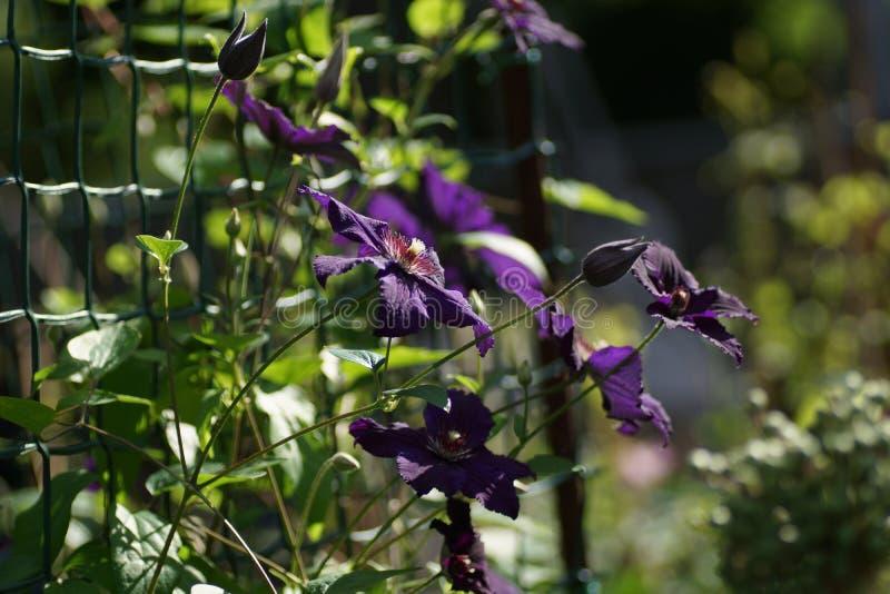 花紫色铁线莲属特写镜头 花铁线莲属品种拉斯普京 库存照片