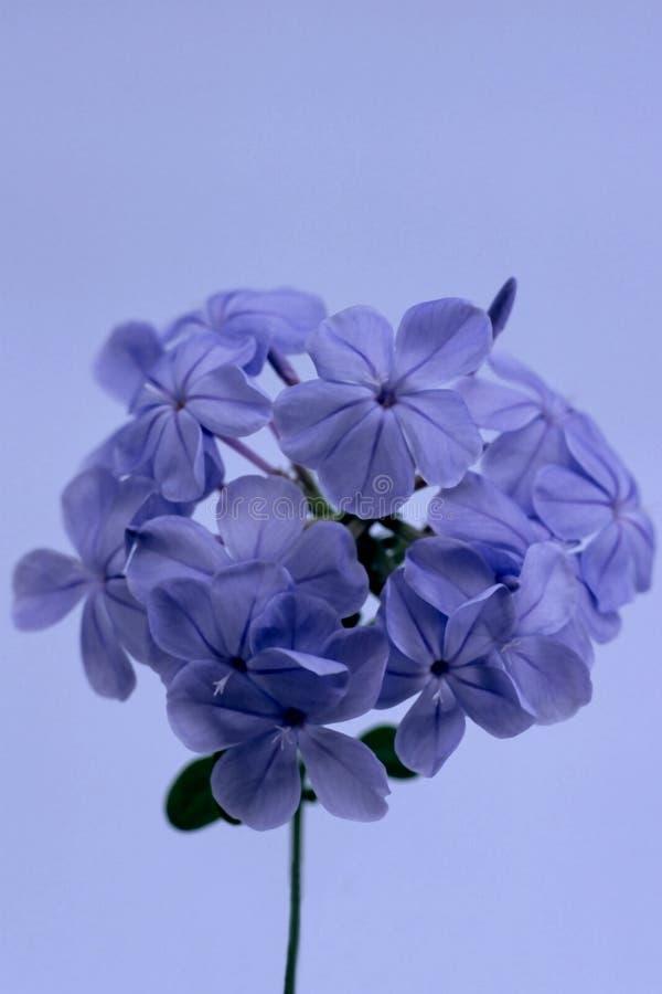 花紫色 免版税图库摄影