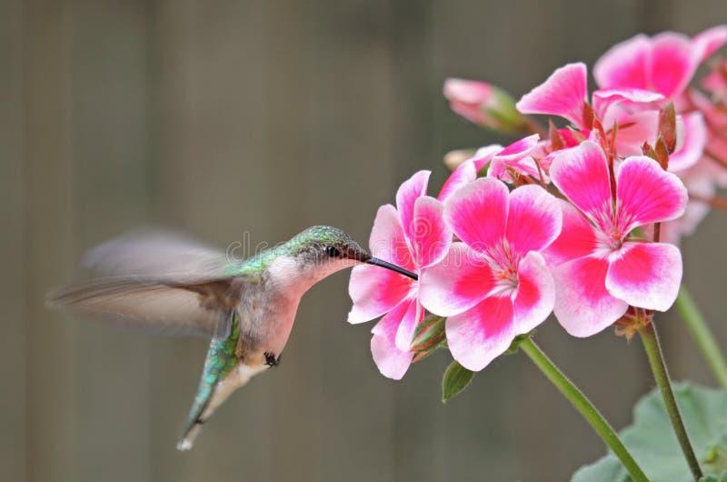 花红喉刺莺蜂鸟的红宝石 免版税图库摄影