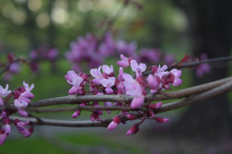 花绽放在春天 免版税库存图片