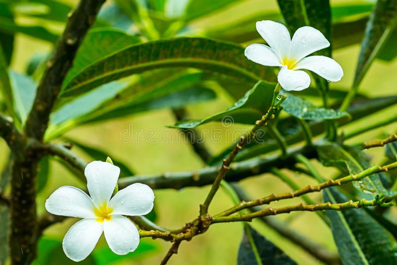 花羽毛白色与用泰国的雨珠标志报道的黄色核心叶子背景的  库存照片