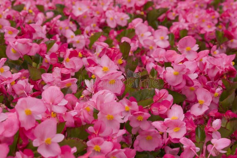 花背景,桃红色海,纹理 免版税库存照片