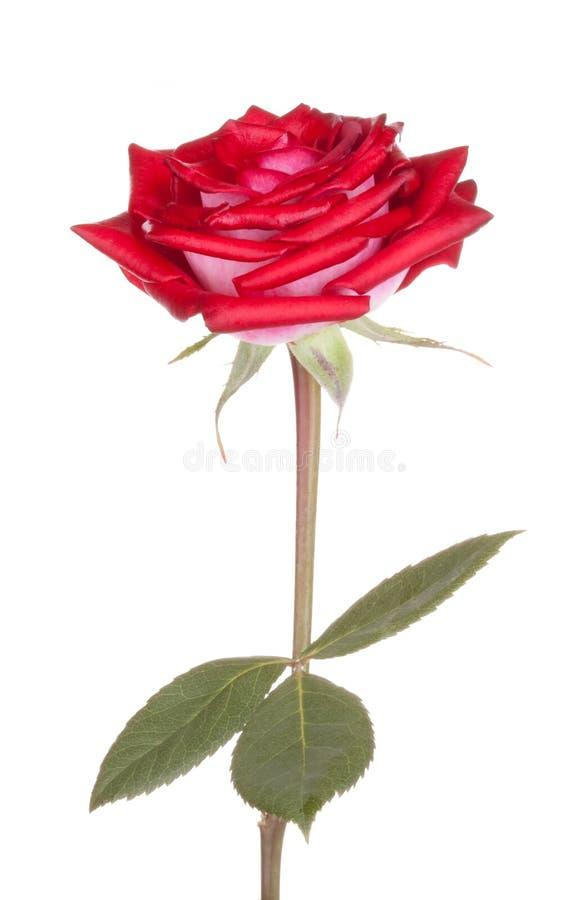 花花玫瑰色玫瑰 免版税库存图片