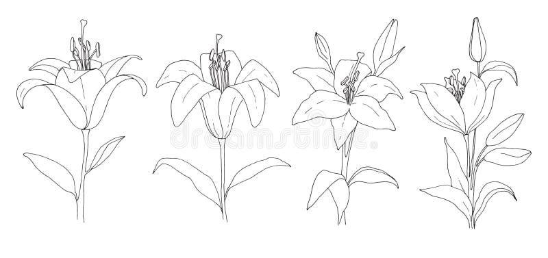 花草图 在空白背景查出的百合 向量 库存例证