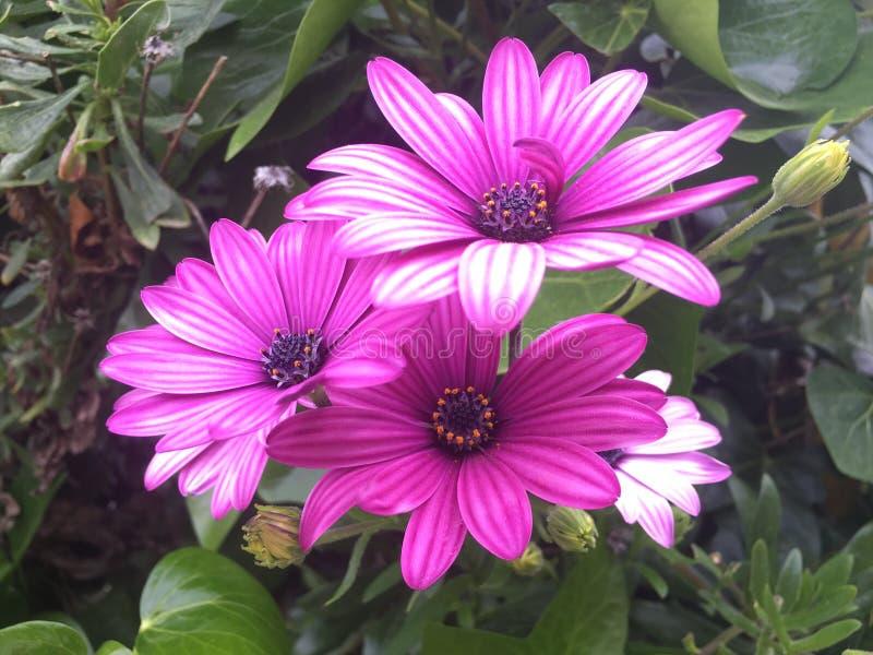花莱拉紫罗兰色春天庭院夏天弗洛勒斯花束  免版税库存照片