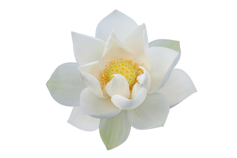 花莲花白色 图库摄影