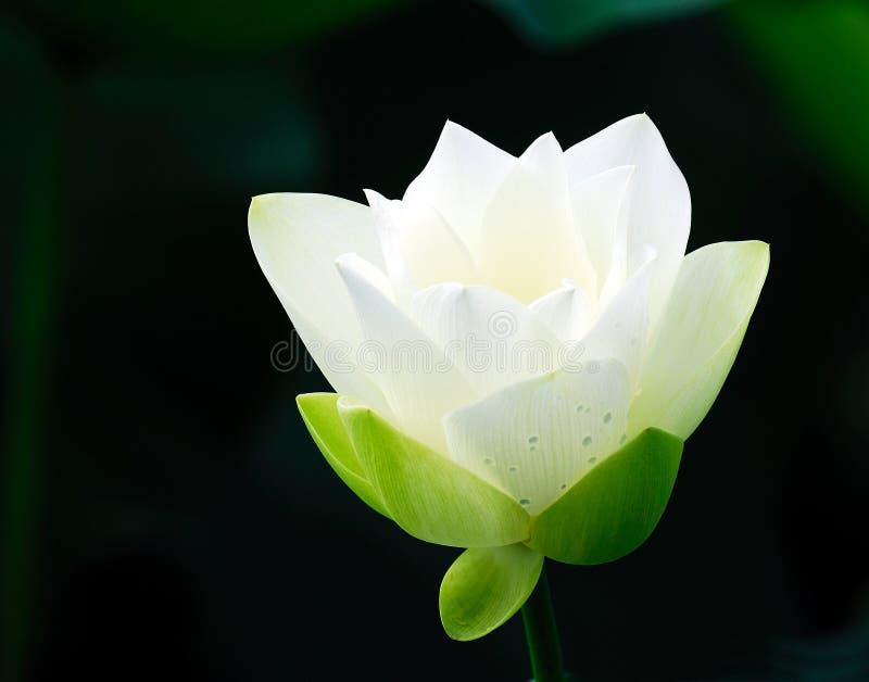 花莲花白色 免版税库存照片