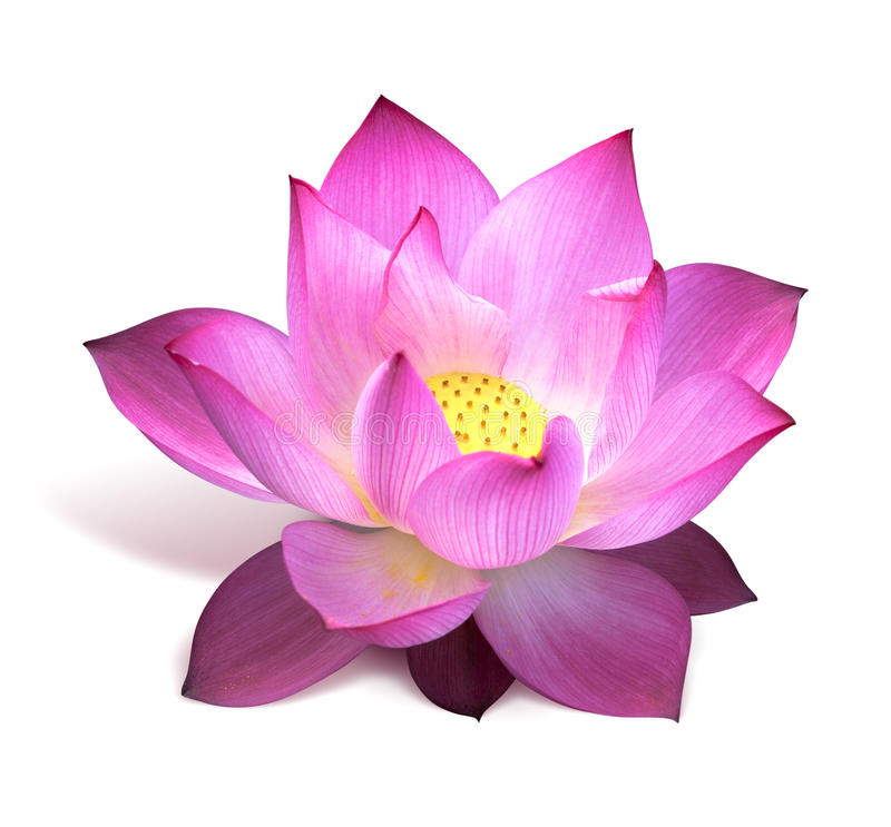 花莲花粉红色 免版税图库摄影