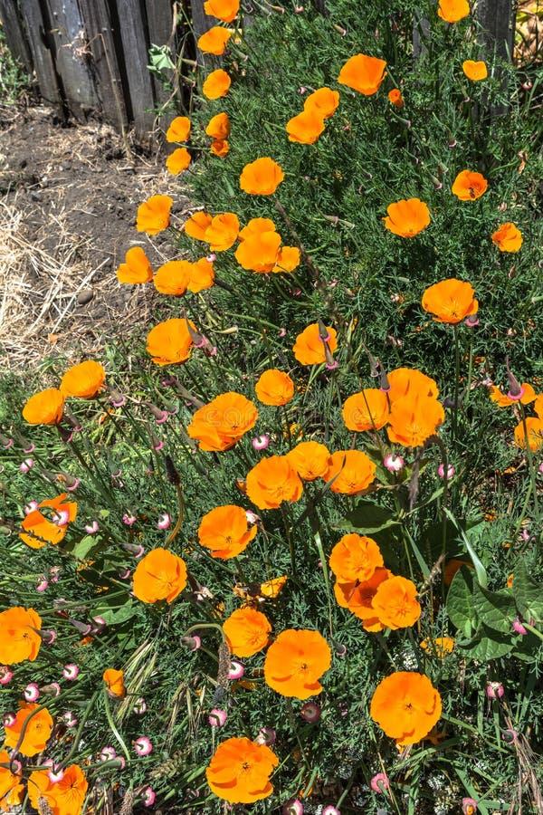 花菱草在Mendocino,加利福尼亚 图库摄影