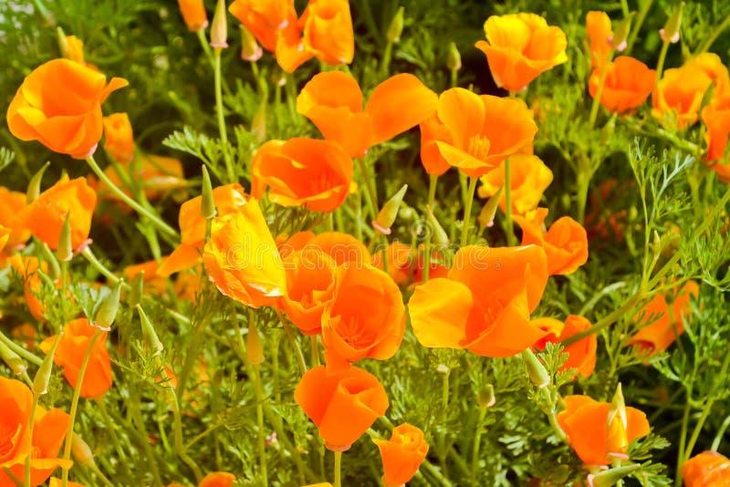 花菱草californica是一个华丽的杯子的Eschscholzia塑造了在红色,橙色和黄色的花 这是种类  免版税库存照片