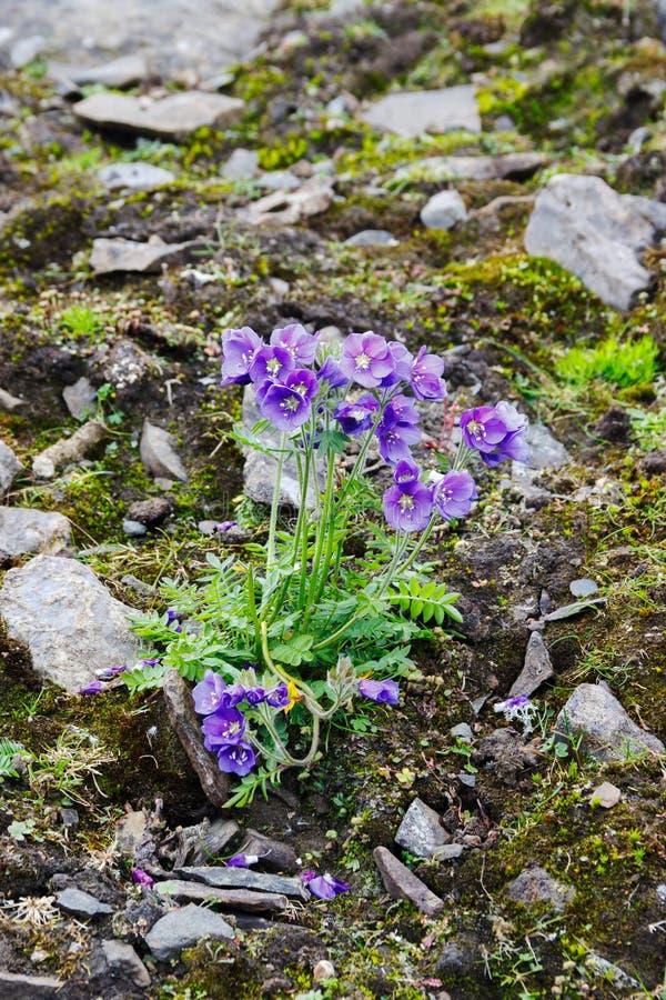 花葱boreale (北方Jacobs梯子)在新地岛 库存图片