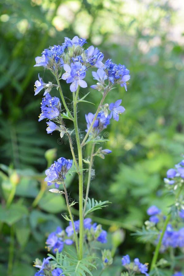 花葱caeruleum,叫作雅各布梯子或希腊拔地响,是强壮的四季不断的开花植物,医药草本 免版税库存照片
