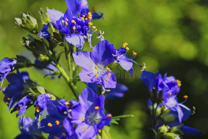 花葱caeruleum,叫作雅各布梯子或希腊拔地响 免版税图库摄影