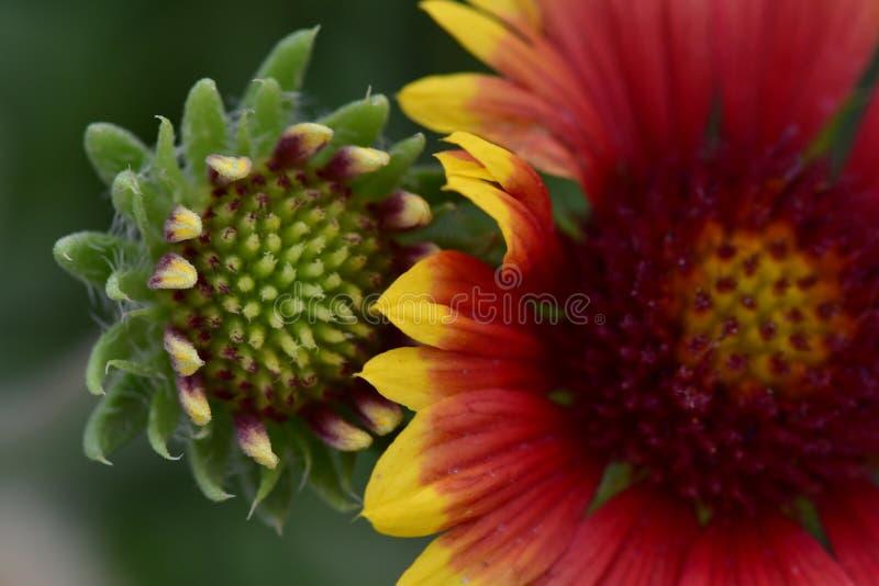 花蕾和一朵红色花组合,在五颜六色的庭院里迷人和 库存照片