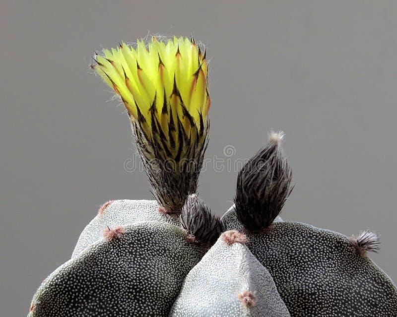 花蕾,黄色,仙人掌对oepn的Astrophytum Myriostigm,  免版税库存照片