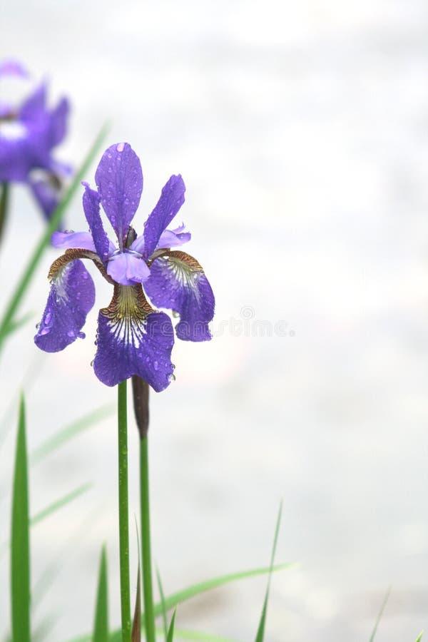 花虹膜公园紫罗兰 免版税库存照片